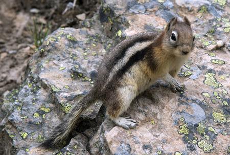 Golden Mantle Ground Squirrel Banco de Imagens - 59759835