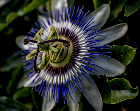 Macro on flower of passion. Blue color flower Passiflora