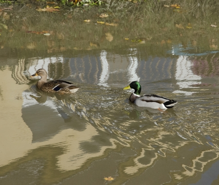 drakes: ducks and drakes in the brook