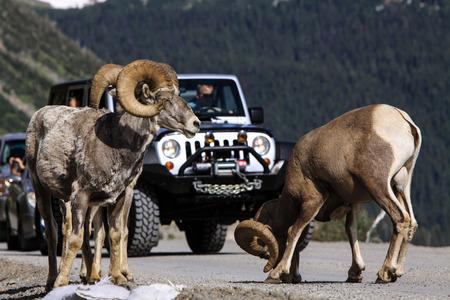 Big Horn Sheep Ovis Canadensis photo