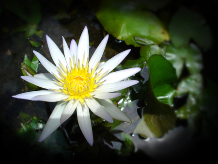 White Water lily in a pond