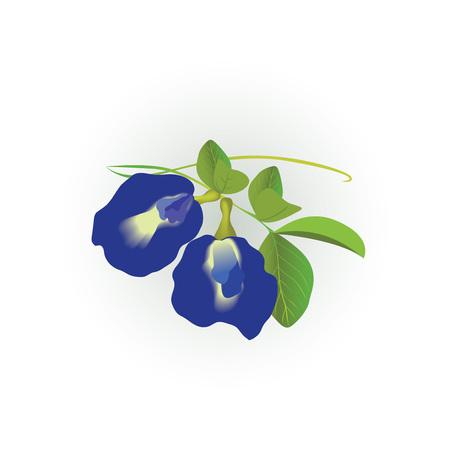 蝶エンドウ豆の花