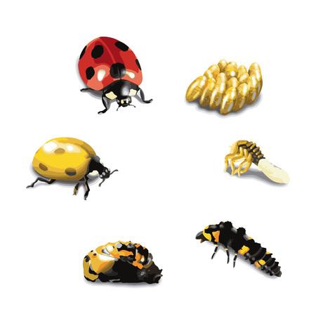 Ladybug life cycle stage