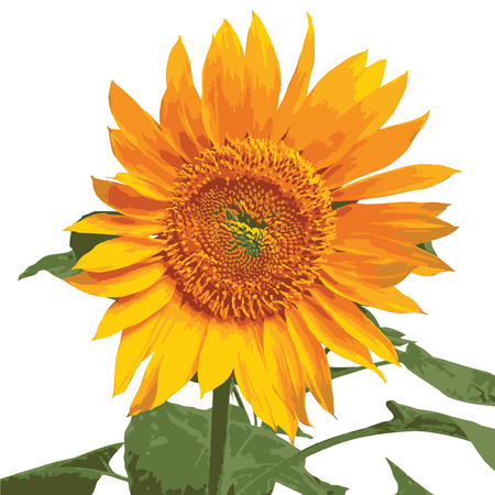 Beautiful Sunflower, beauty, flower, yellow, sun, orange, bloom, close up, earth, farm, nature, shine, floral, garden, gardening, green, illustration, isolated, leaf, leaves, layers, organic, outdoor, plant, petal, petals, plants, pretty, season, spring, summer, vibrant, botany, background, realistic, rich color, sunlight