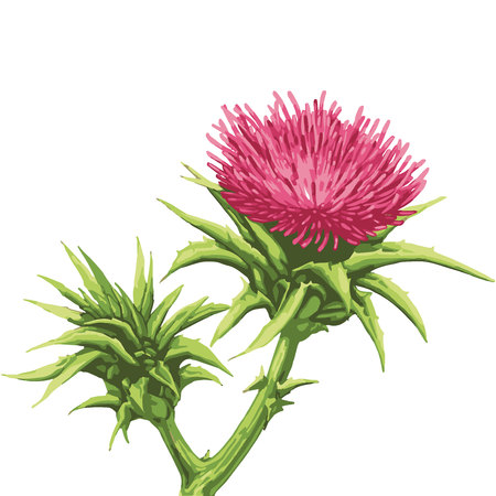Milk Thistle Flower vector with isolated background