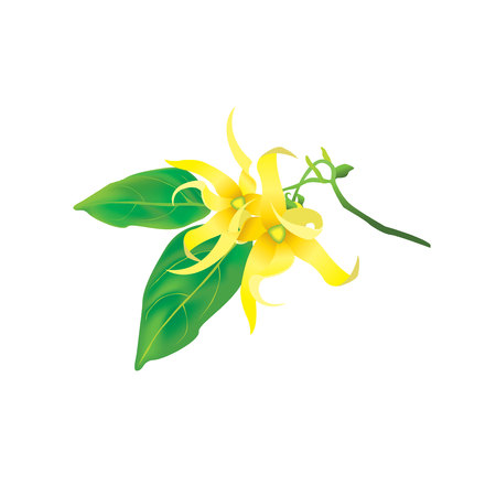 Vector illustration Ylang Ylang flower on isolated background, ylang ylang, essential, essential oil, flowers, perfumery, plant, tree, tropical, bali, yellow, flora, decoration, organic, tea, petal, relaxing, smell, spa, thai, relax, white, fresh, fragrance, freshness, leaf, leaves, natural, beauty, pretty, name, herbs, treatment, salon, facial, body, aromatheraphy Иллюстрация