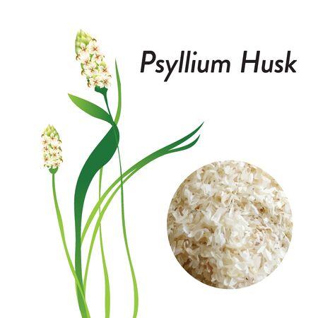 Psyllium Husk plant flower vector illustration. Food thickener, Gut healer, fiber,  healthy food.