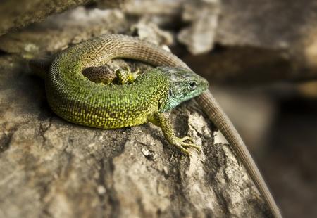 A snapshot of a green lizard sitting on a bark Stock Photo