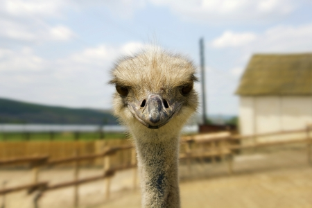 A nice shot of Ostrich glance