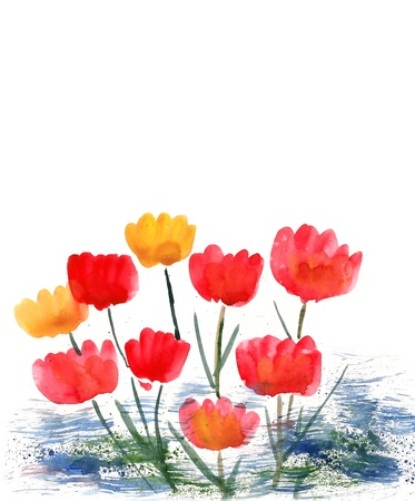 Tulips painted in watercolor  isolated on white