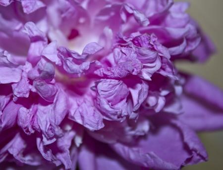 A close up of a blossom peony petals