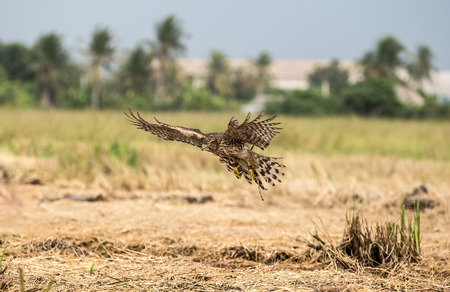 lanner: Falcon training to excel Stock Photo