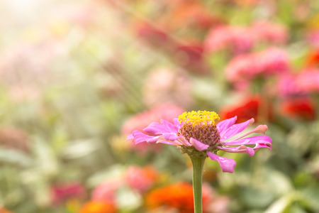 echinacea: Blooming Echinacea, medicinal herb.