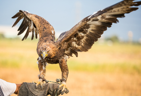 spread wings: eagle with spread wings