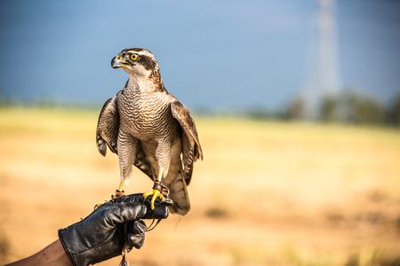 birds desert: Falcon