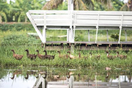 with duck: pato pato pato pato pato