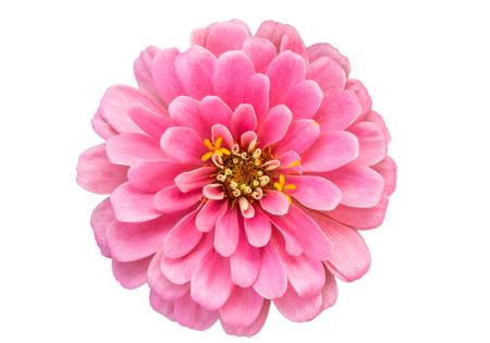 mona lisa: Mona Lisa flower, Pink flower, Spring flower.Isolated on white background.