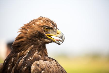 chrysaetos: Close up view of a golden eagle (Aquila chrysaetos) head.