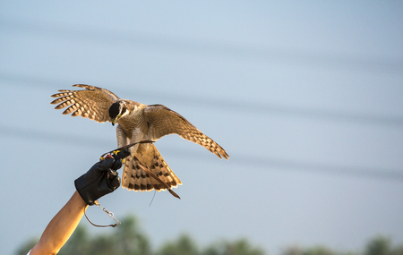 handler: Falconer with Peregrine Falcon crossbred with a Prarie Falcon and Gyrfalcon mix sitting on gloved hand of handler
