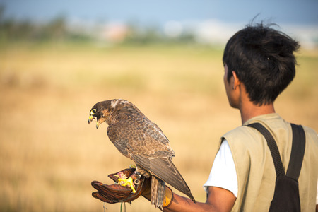 peregrine falcon: Falconer with Peregrine Falcon crossbred with a Prarie Falcon and Gyrfalcon mix sitting on gloved hand of handler