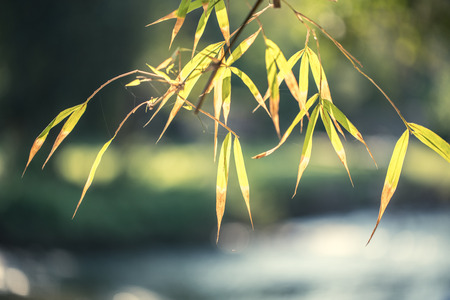fengshui: bamboo leaves Stock Photo