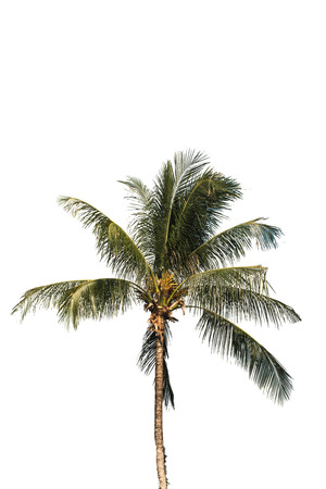 three palm trees: Three coconut palm trees isolated on white background