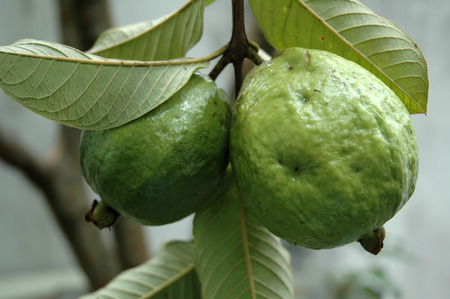 limb: Guava Fruits Hanging on the Limb of the Tree. Stock Photo