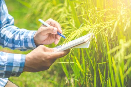 Agricultor asiático investigando datos récord en los campos de arroz transgénicos.