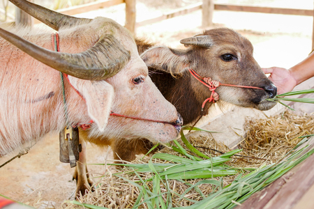 Asian buffalo in Thailand. 版權商用圖片