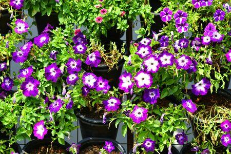 Beautiful flowers in the garden. 版權商用圖片 - 140353295