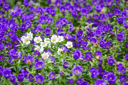 Beautiful flowers in the garden. 版權商用圖片 - 138529004