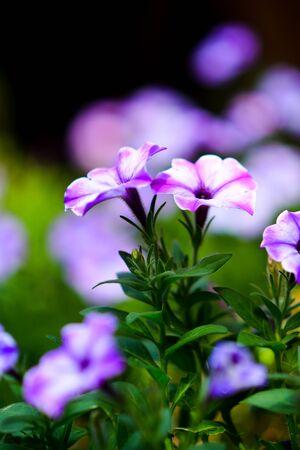 Beautiful flowers in the garden. 版權商用圖片 - 138529033