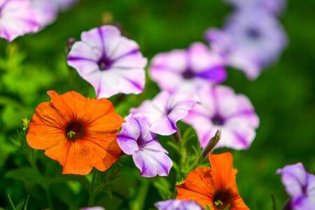 Beautiful flowers in the garden. 版權商用圖片 - 138528725