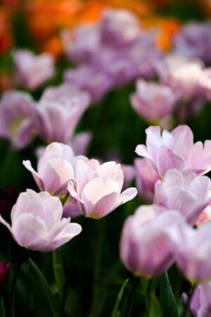Beautiful flowers in the garden. 版權商用圖片 - 138528997