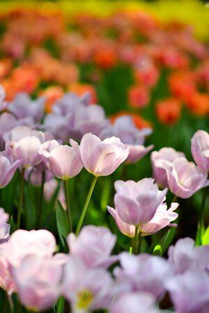 Beautiful flowers in the garden. 版權商用圖片 - 138529140