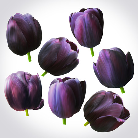 Collection of Black Tulips heads for design. Set of floral buds for decoration. Isolated on light backdrop. Stock Photo