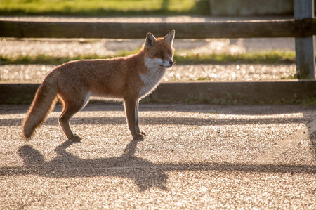 scavenge: Fox in shade by fence Stock Photo
