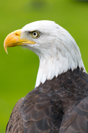 a large bird of prey: Bald eagle portrait