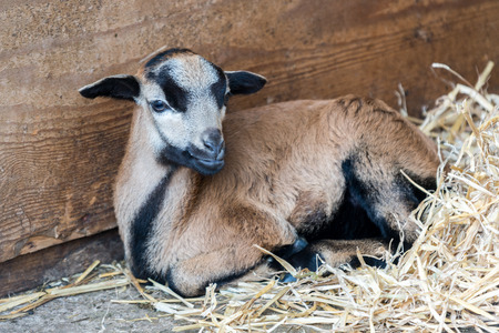 teats: Young Goat laying down