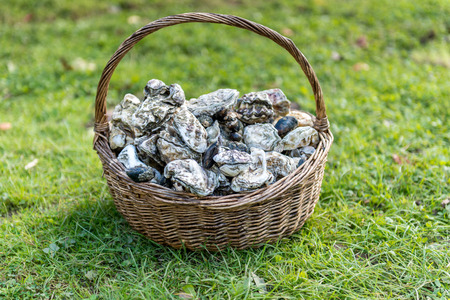 mother of pearl: Oysters in basket