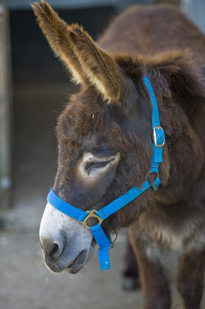 reins: Donkey close up with blue reins Stock Photo