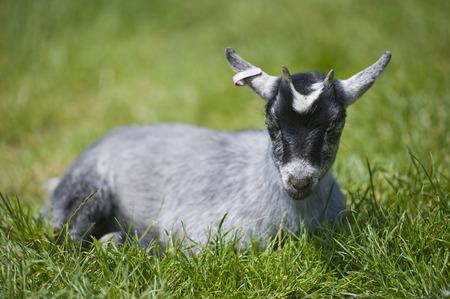 animal welfare: goat, kid, baby, child, children, show, display, protect, welfare, feed, milk, horn, animal, fun, cute
