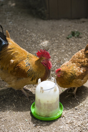 feed up: Two chickens feeding on seeds on a farm