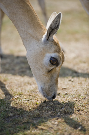 conservation grazing: Close up of an Impala grazing in a field