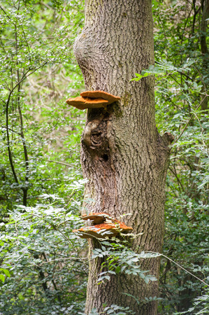 fungi: Fungi growing on tree in the forest