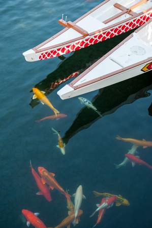 schooling: Schooling of colored koi carp in water around a two long boats