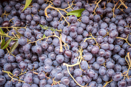 free image: a large amount of purple colored grapes and stalks