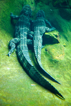 stock photographs: Two large reptiles and their talis in water in zoo