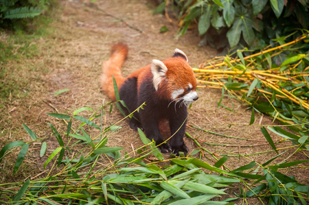 bearcat: Red panda sitting in a zoo