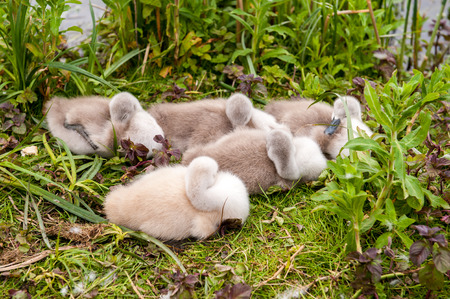 mothering: Young swan cygnets nesting together near water Stock Photo